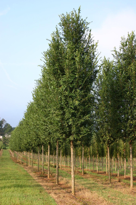 Everclear-Lacebark-Elm-Ulmus-parvafolia-row.jpg