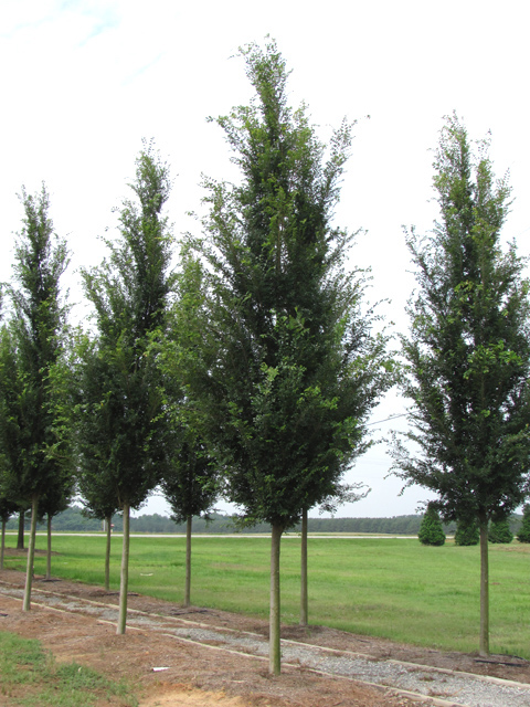Everclear-Lacebark-Elm-Ulmus-parvafolia-row-4.jpg
