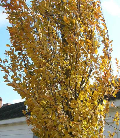 Everclear-Lacebark-Elm-Ulmus-parvafolia-fall-color.jpg