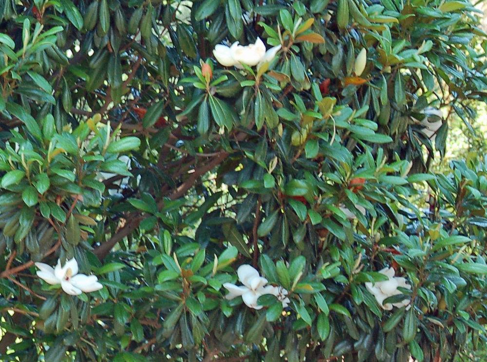 Greenback-Magnolia-Magnolia-Grandiflora-flower-foliage.jpg