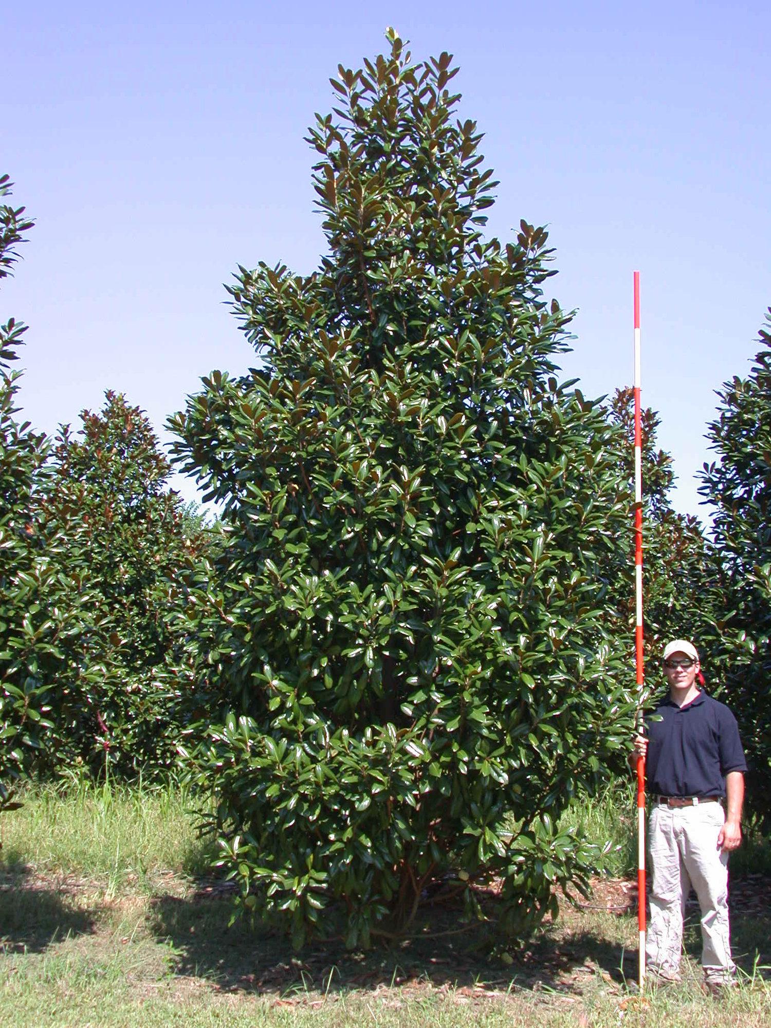 Greenback Magnolia Athena Trees Inc