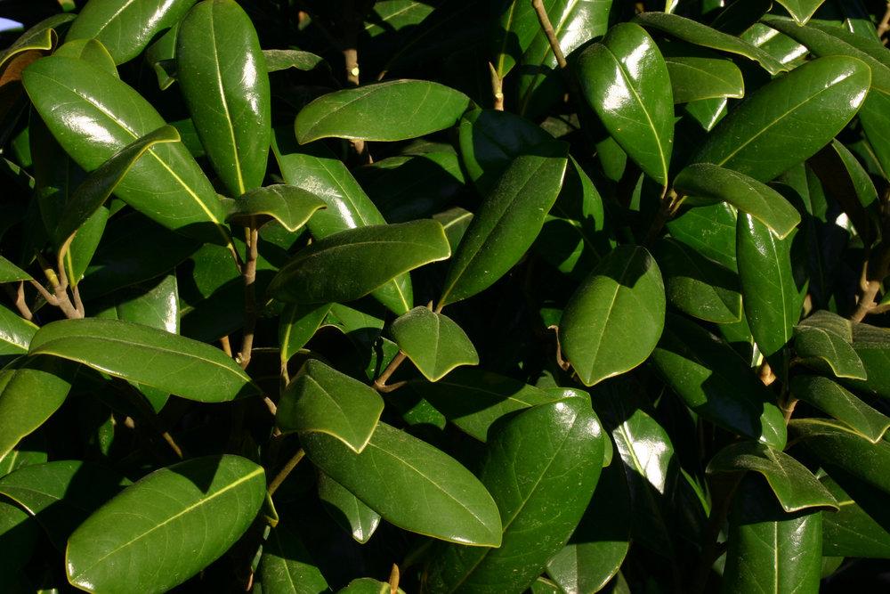 Greenback-Magnolia-Magnolia-Grandiflora-foliage-2.jpg