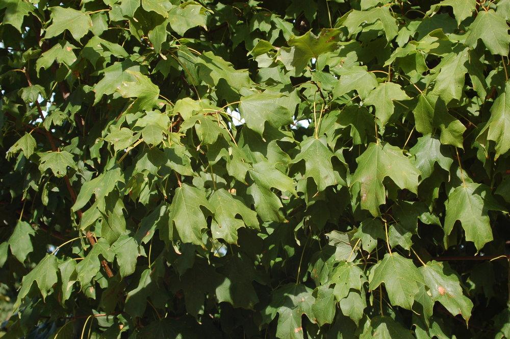 Harvest-Moon-Sugar-Maple-Acer-saccharum-foliage.jpg