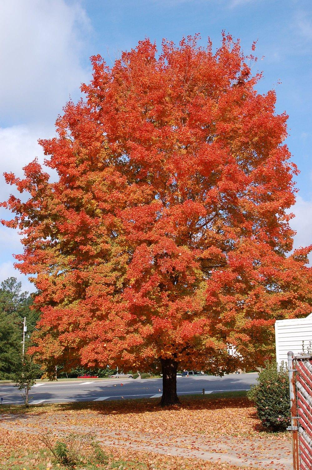 Harvest-Moon-Sugar-Maple-Acer-saccharum-fall-color-habit-2.jpg