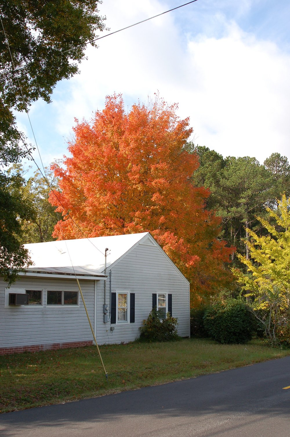 Harvest-Moon-Sugar-Maple-Acer-saccharum-fall-color-habit.jpg