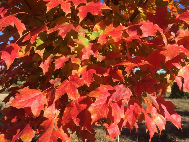Harvest-Moon-Sugar-Maple-Acer-saccharum-fall-color-2.jpg