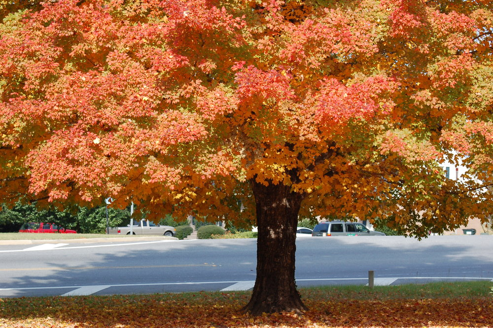 Harvest-Moon-Sugar-Maple-Acer-saccharum-fall-color-foliage.jpg