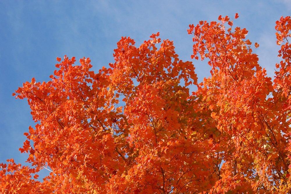 Harvest-Moon-Sugar-Maple-Acer-saccharum-fall-color-foliage-3.jpg