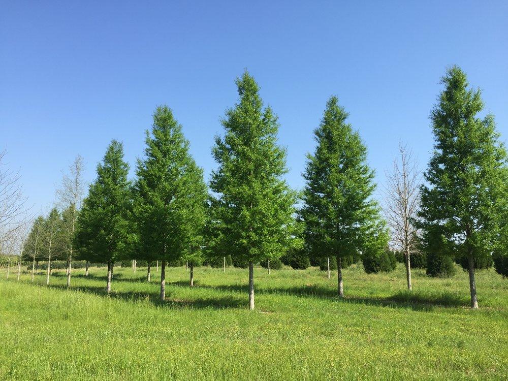 Kingpin-Willow-Oak-Quercus-phellos-big-row.jpg