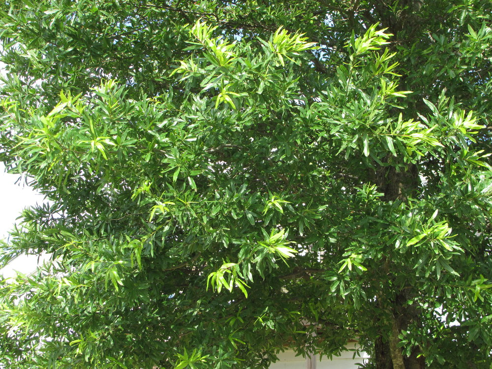 Kingpin-Willow-Oak-Quercus-phellos-foliage.jpg