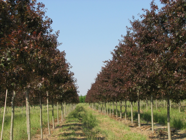 Ruby-Spring-Nuttall-Oak-Quercus-nuttallii-spring-flush-row-5.jpg