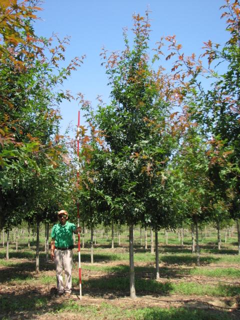 Ruby-Spring-Nuttall-Oak-Quercus-nuttallii-habit-3.jpg
