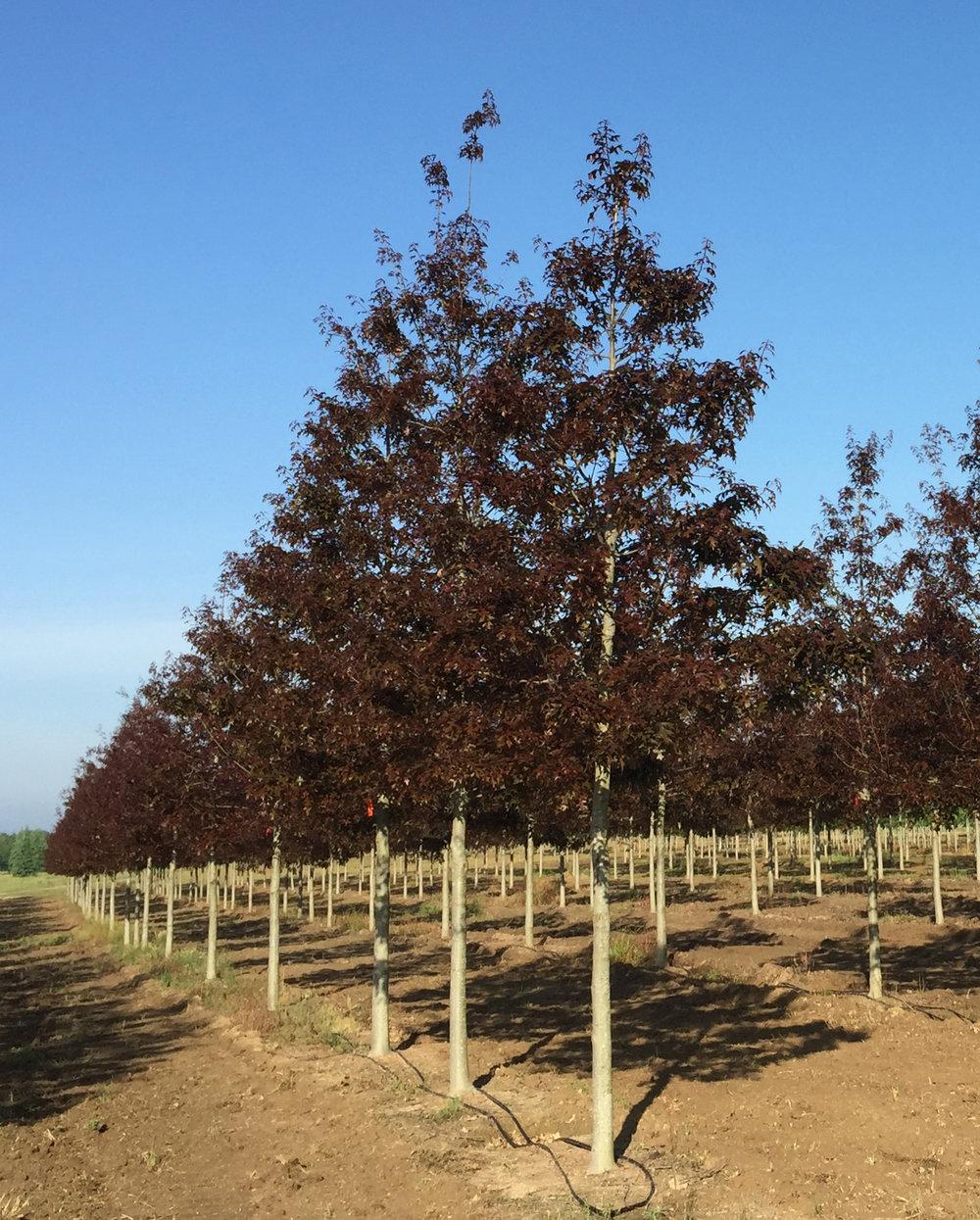 Ruby-Spring-Nuttall-Oak-Quercus-nuttallii-spring-flush-row.jpg