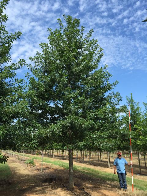 Ruby-Spring-Nuttall-Oak-Quercus-nuttallii-habit.jpg