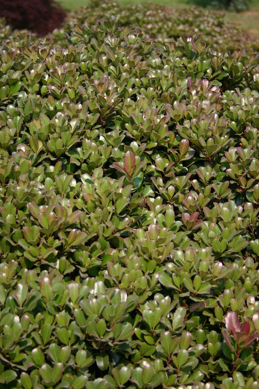Snowcap-Indian-Hawthorn-Rhaphiolepis-foliage-3.jpg