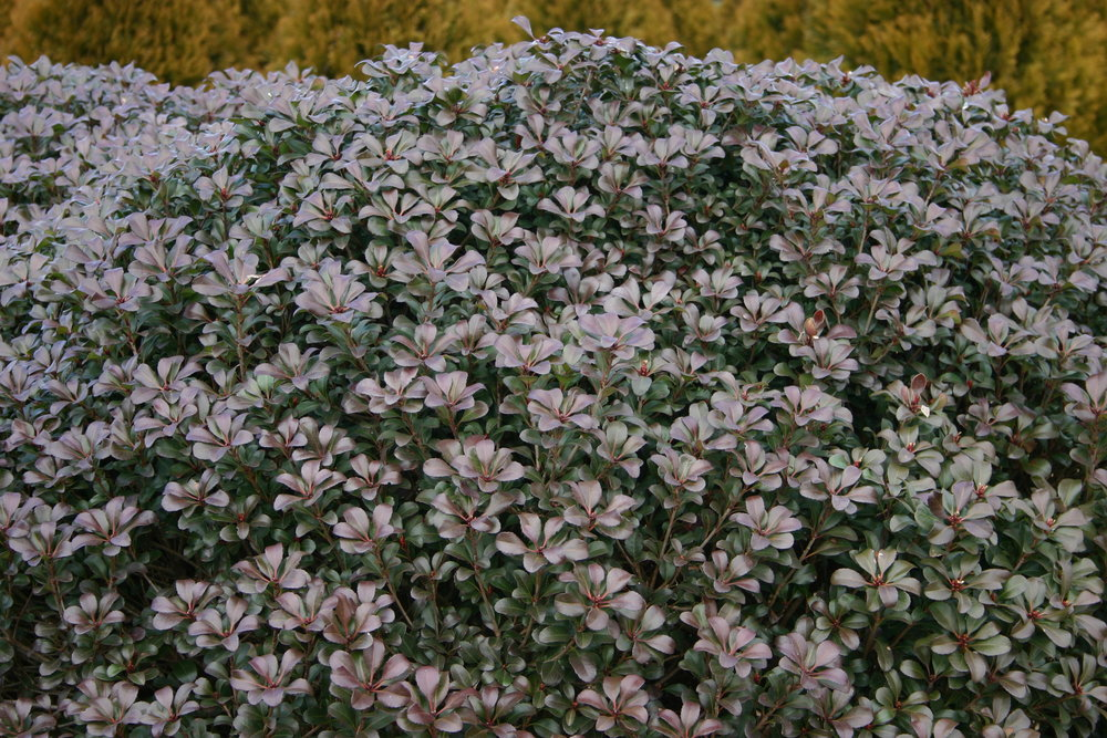 Snowcap-Indian-Hawthorn-Rhaphiolepis-foliage-4.jpg