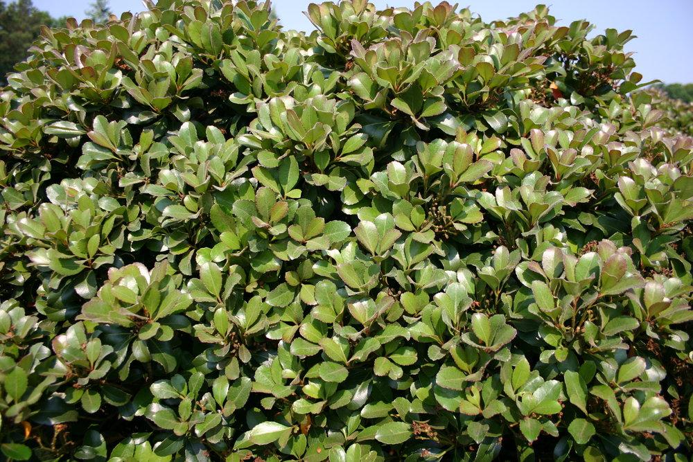Snowcap-Indian-Hawthorn-Rhaphiolepis-foliage-2.jpg