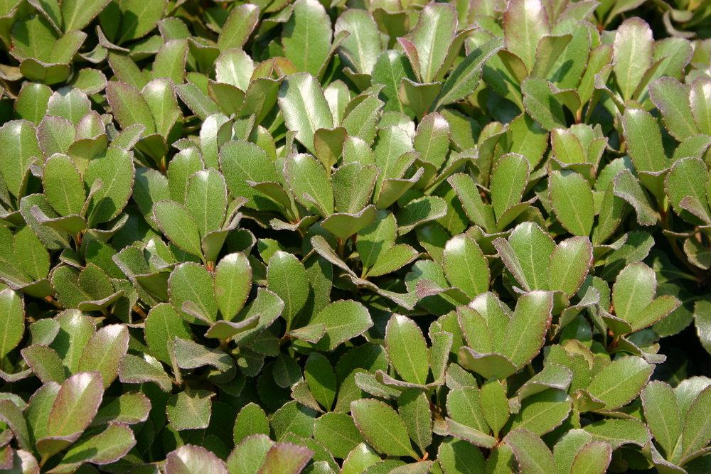 Snowcap-Indian-Hawthorn-Rhaphiolepis-foliage.jpg
