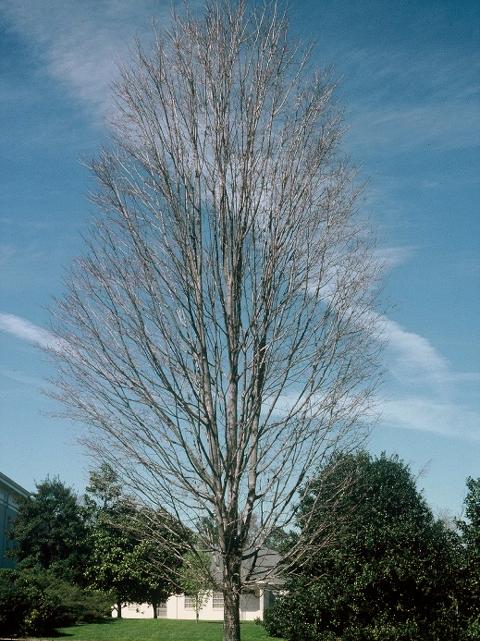 Steeple-Sugar-Maple-Acer-saccharum-winter-habit.jpg