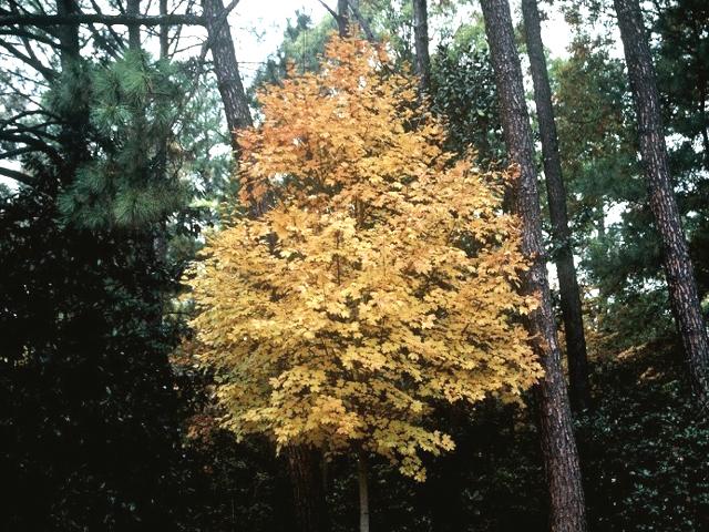 Steeple-Sugar-Maple-Acer-saccharum-fall-color-habit-3.jpg