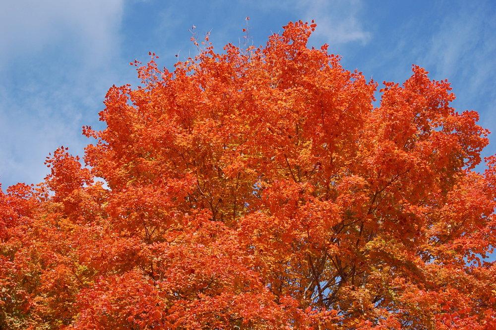 Harvest Moon® Sugar Maple -