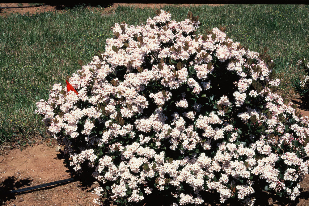 Snowcap® Indian Hawthorn -