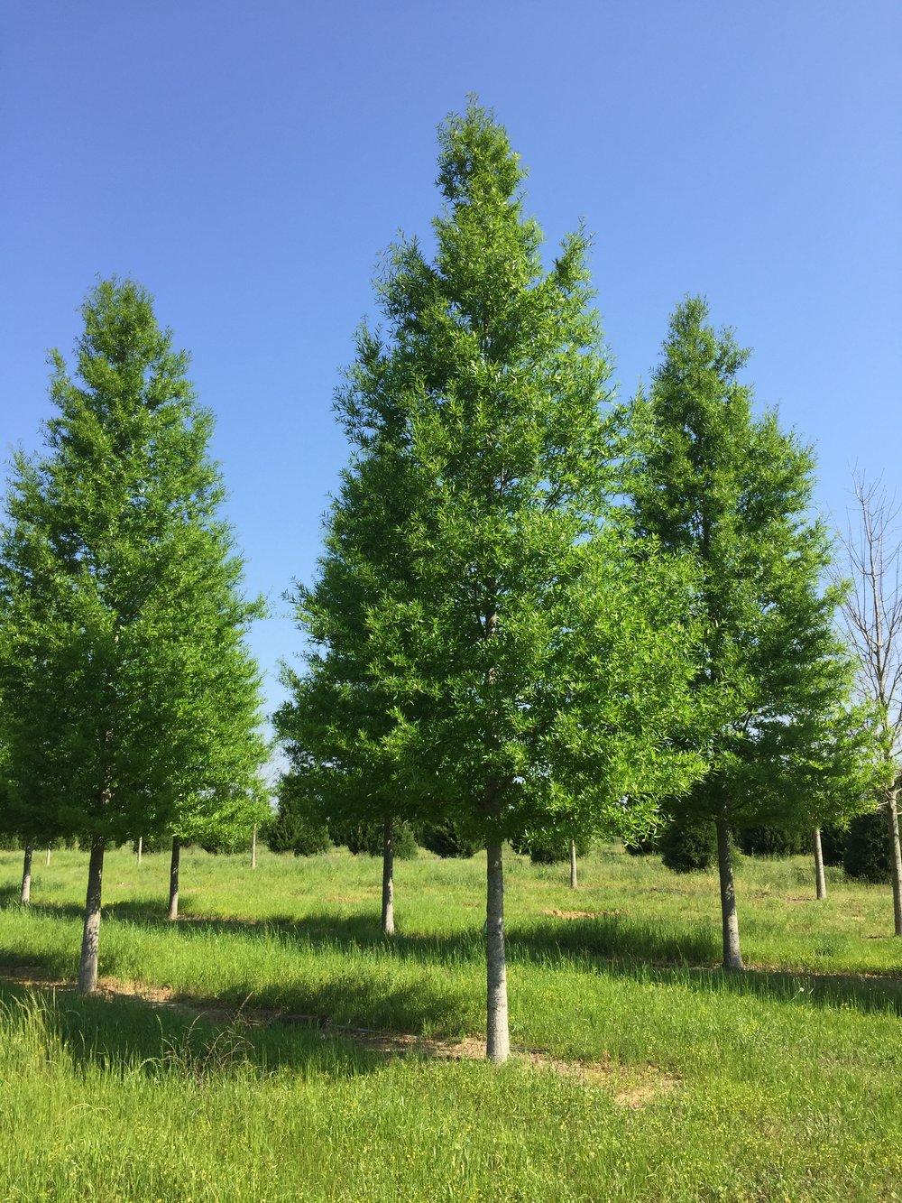 Kingpin® Willow Oak -