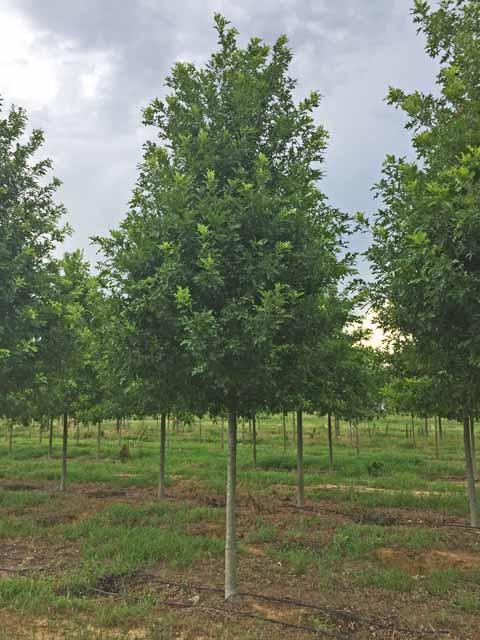Breezeway-Nuttall-Oak-Quercus-nuttallii-young-Habit.jpg