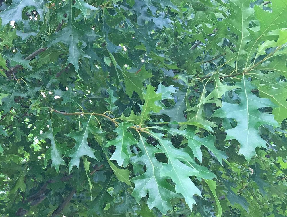 Breezeway-Nuttall-Oak-Quercus-nuttallii-foliage.jpg