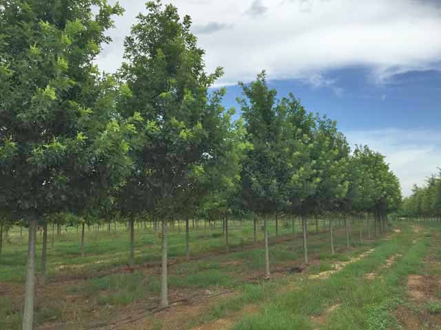 Breezeway-Nuttall-Oak-Quercus-nuttallii-row-2.jpg