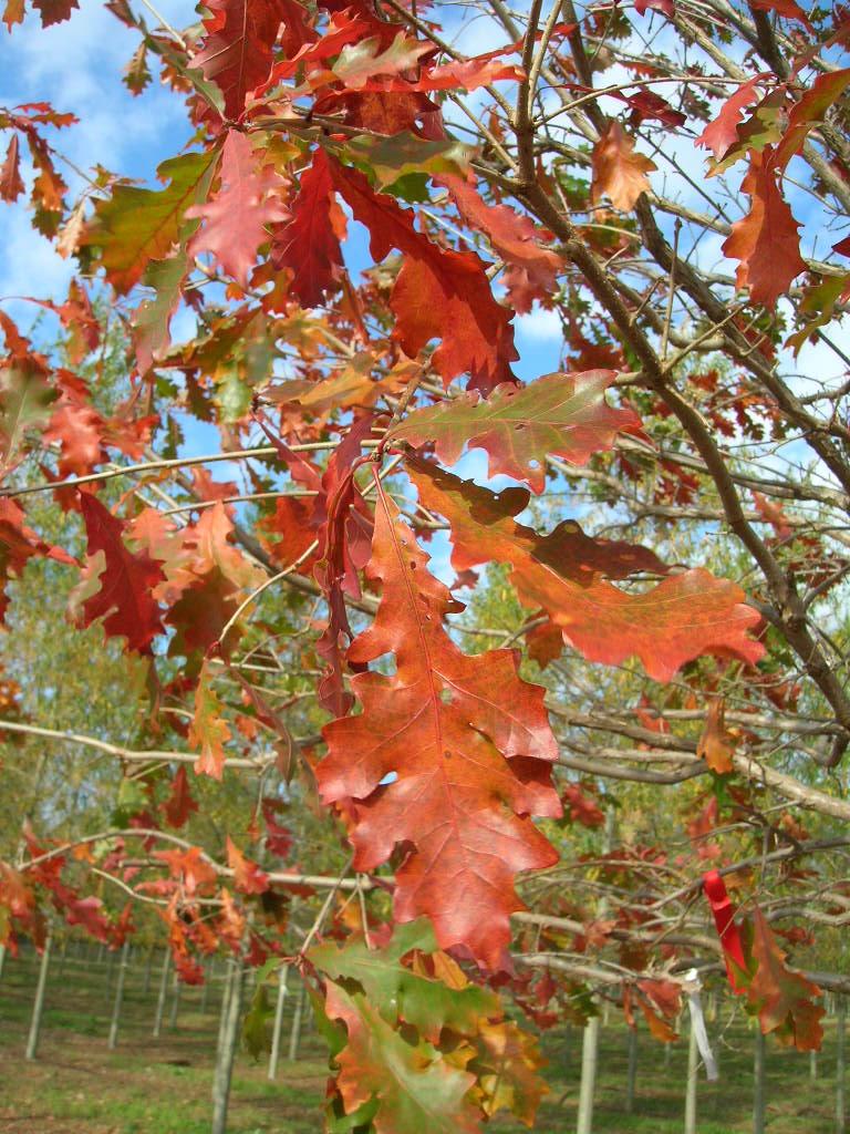 Green-Spring-Overcup-Oak-Quercus-lyrata-fall-color.jpg