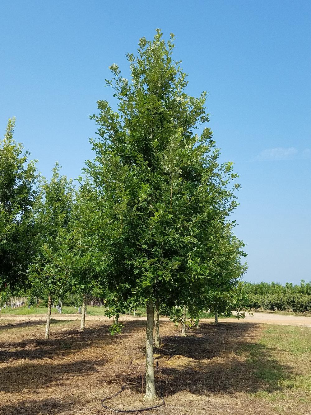 Green-Spring-Overcup-Oak-Quercus-lyrata-habit.jpg