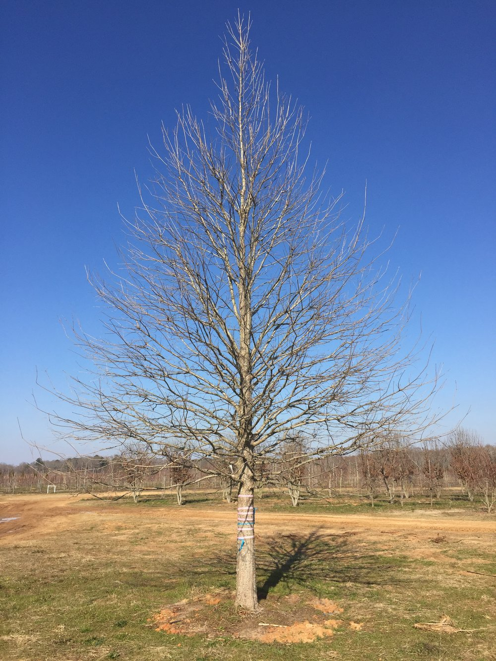 Green-Spring-Overcup-Oak-Quercus-lyrata-winter-habit.jpg