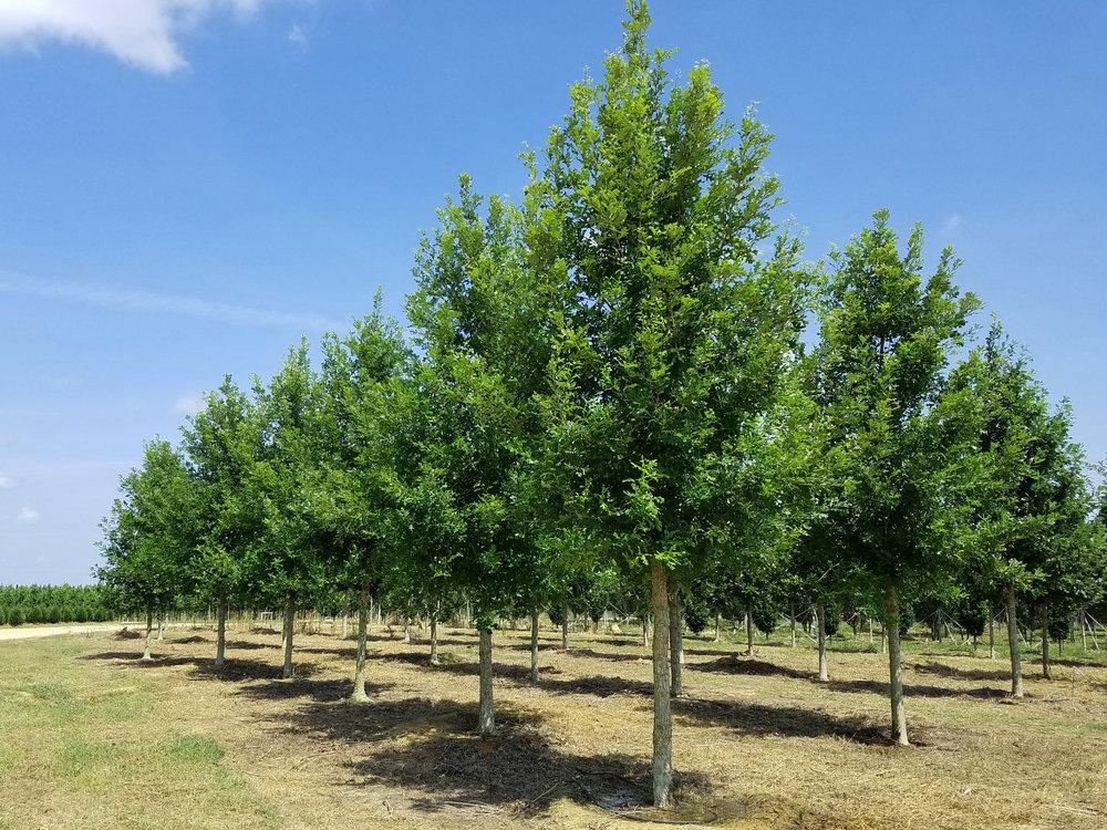 Green-Spring-Overcup-Oak-Quercus-lyrata-row.jpg