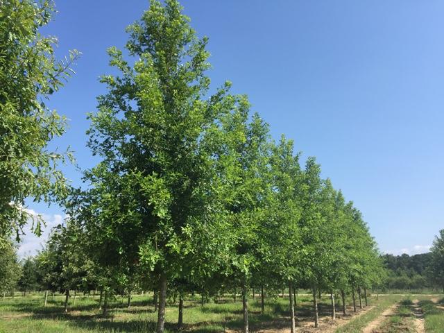 Green-Spring-Overcup-Oak-Quercus-lyrata-row-3.jpg