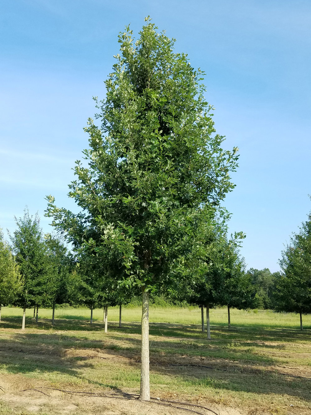 Marquee-Overcup-Oak-Quercus-lyrata-habit.jpg