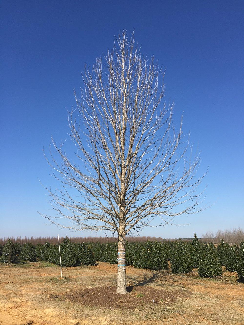 Marquee-Overcup-Oak-Quercus-lyrata-winter-habit.jpg