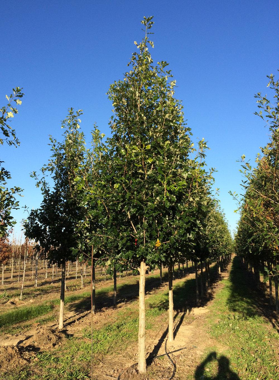Marquee-Overcup-Oak-Quercus-lyrata-young-habit.JPG