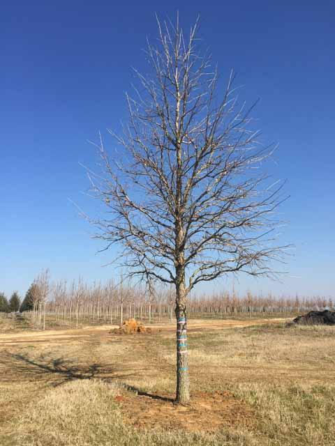 Sun-Breaker-Swamp-White-Oak-Quercus-bicolor-winter-habit.jpg