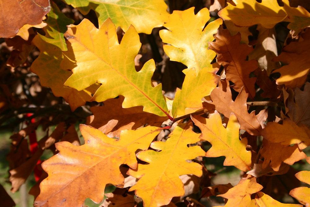 Sun-Breaker-Swamp-White-Oak-Quercus-bicolor-fall-color.JPG