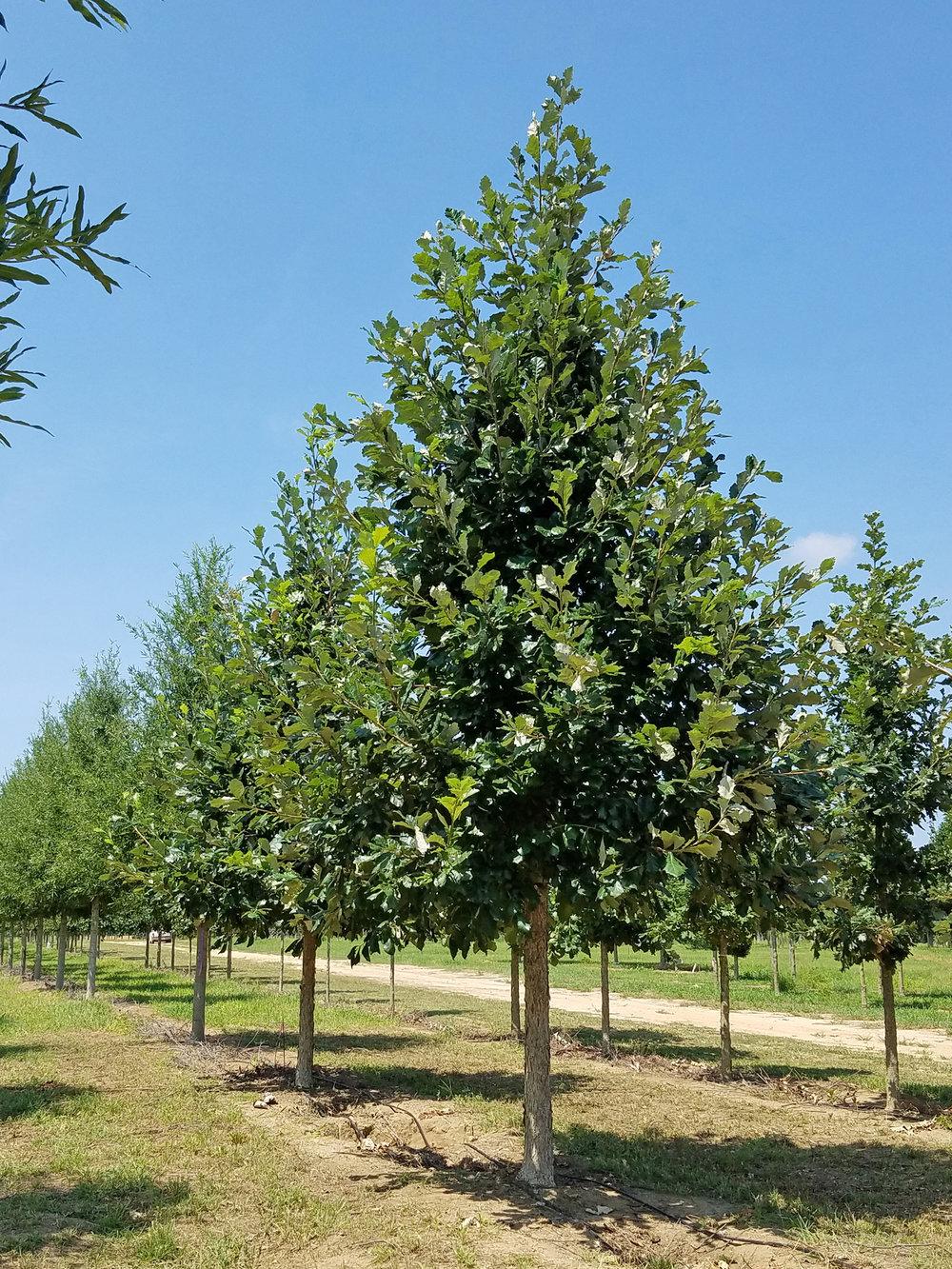 Sun-Breaker-Swamp-White-Oak-Quercus-bicolor-row.jpg