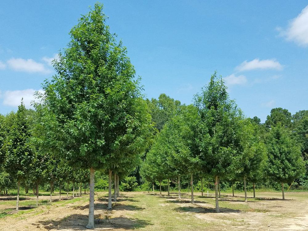 breezeway® Nuttall Oak -