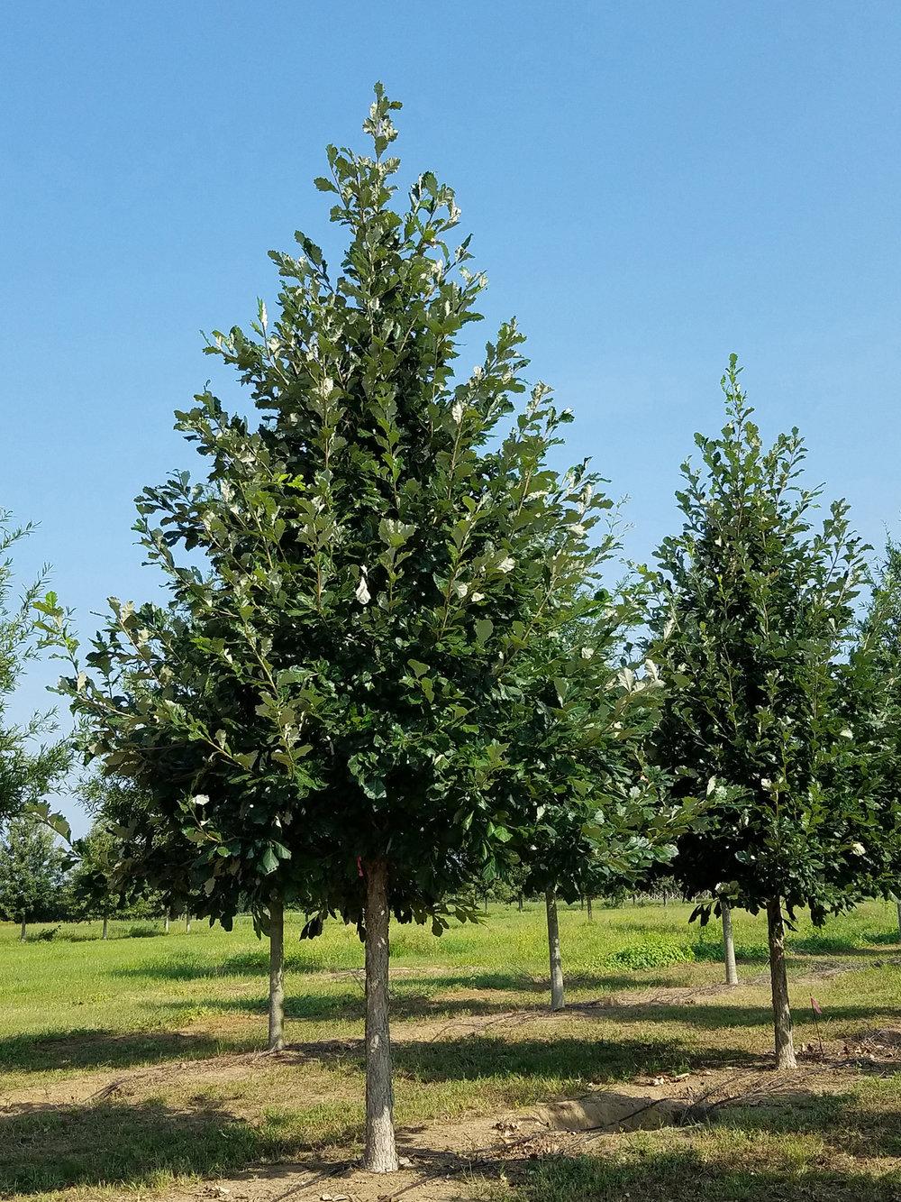 Sun breaker® Swamp White Oak -