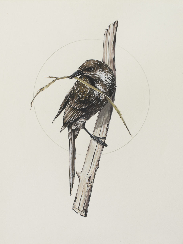 'Little Wattle Bird'