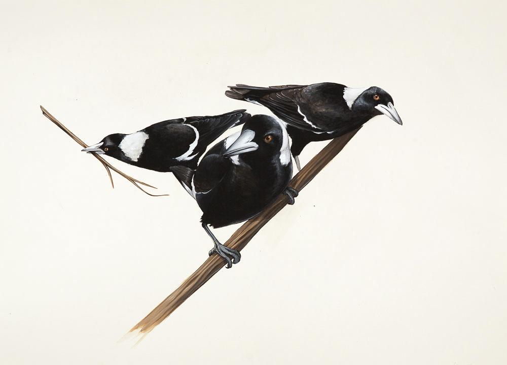 Magpie commission