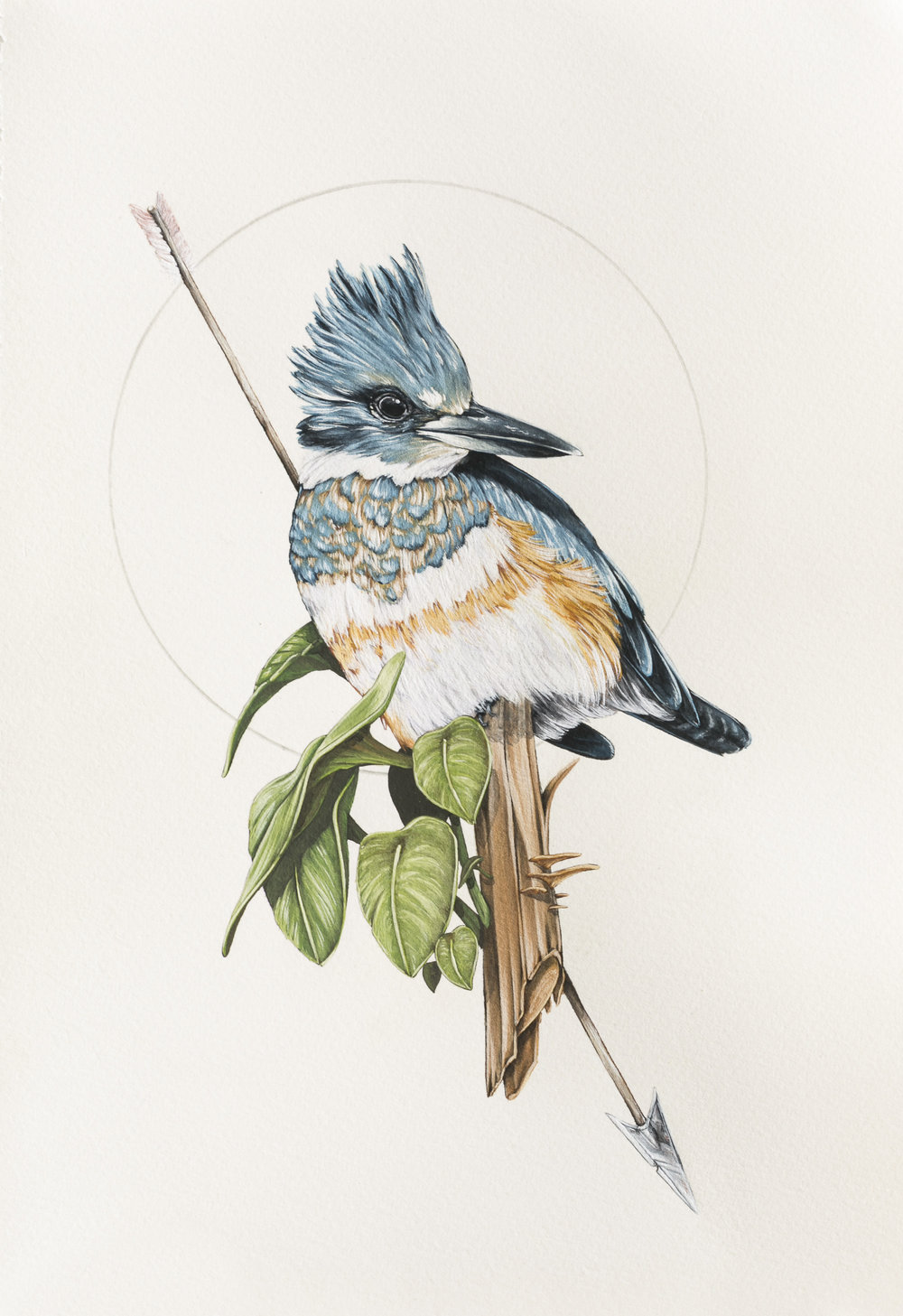 'Belted Kingfisher'