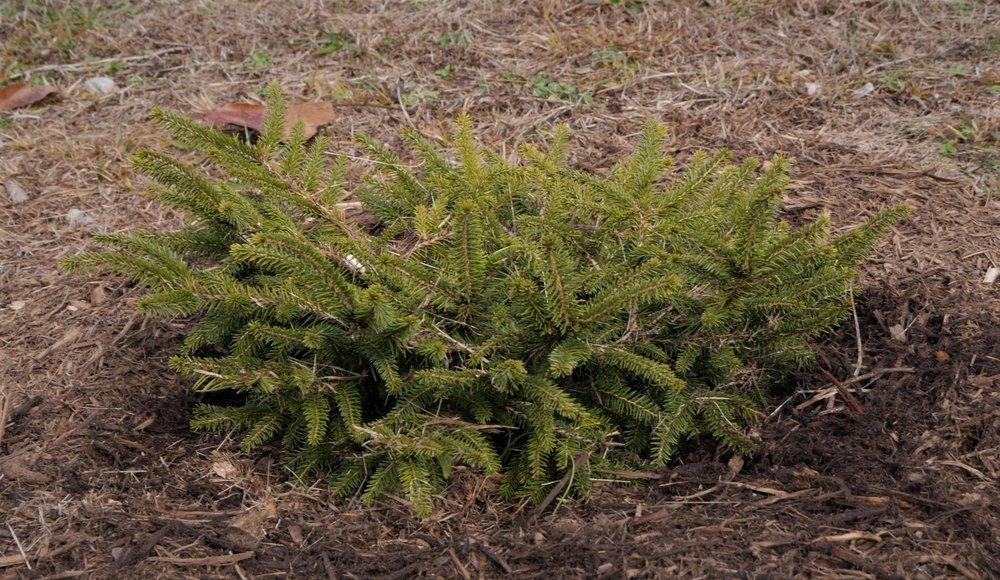 Picea abies 'Nidiformis'.