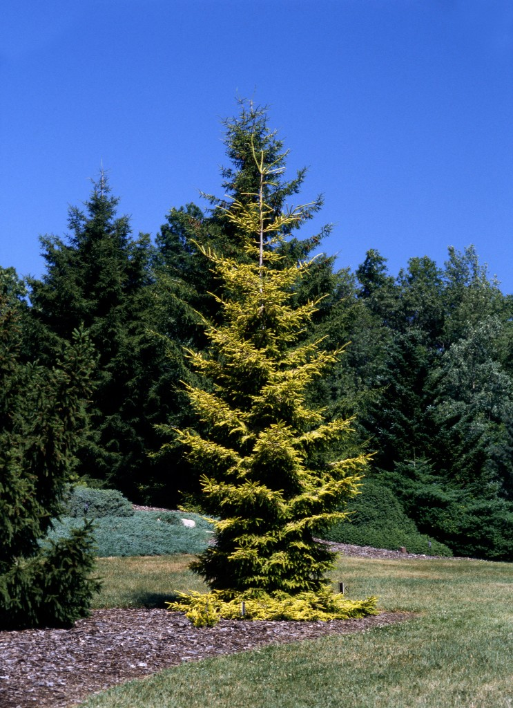 It is easy to see why Picea orientalis 'Skylands' is exploding in popularity.