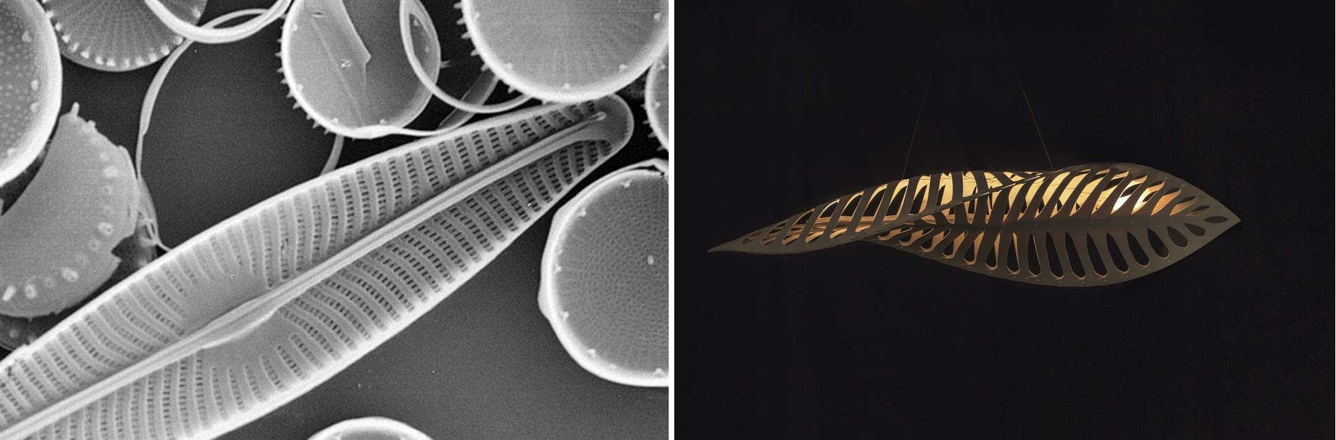 Navicula-and-Diatoms1