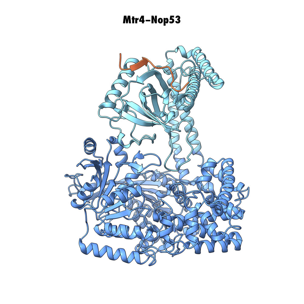 Crystal Structure of Mtr4 with the AIM of Nop53.